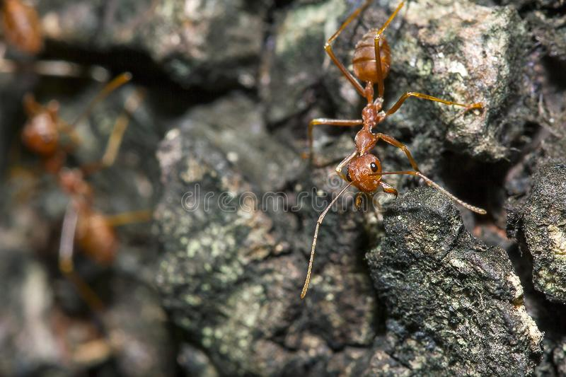 Red ant on the tree. Red ants on the tree, the name of the species Oecophylla smaragdina in the family Formicidae royalty free stock photos