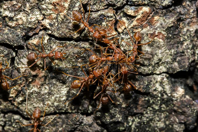 Red ant on the tree. Red ants on the tree, the name of the species Oecophylla smaragdina in the family Formicidae stock photography