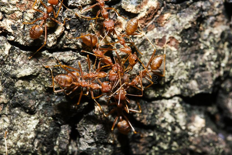 Red ant on the tree. Red ants on the tree, the name of the species Oecophylla smaragdina in the family Formicidae stock photo