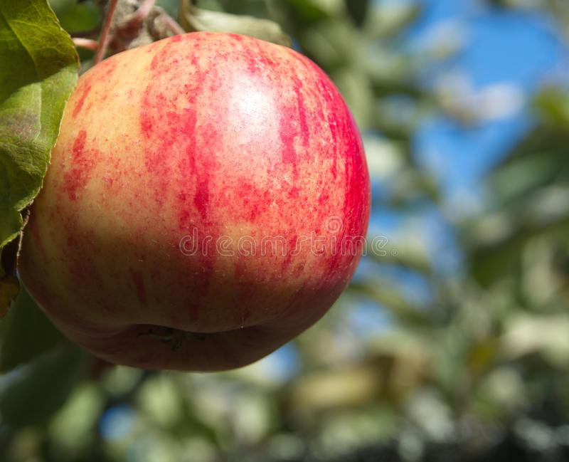 Red apple in an apple tree. With leaves in the background stock photo