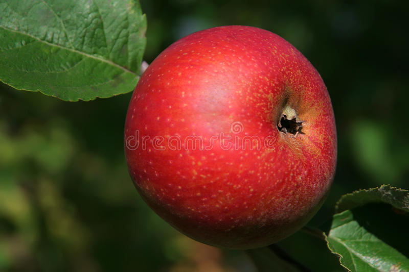 Download Red apple stock image. Image of meal, fall, branch, fresh - 15698821