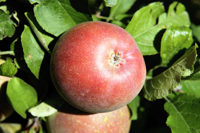Download Red apple stock image. Image of blue, diet, crop, lifestyle - 25880659