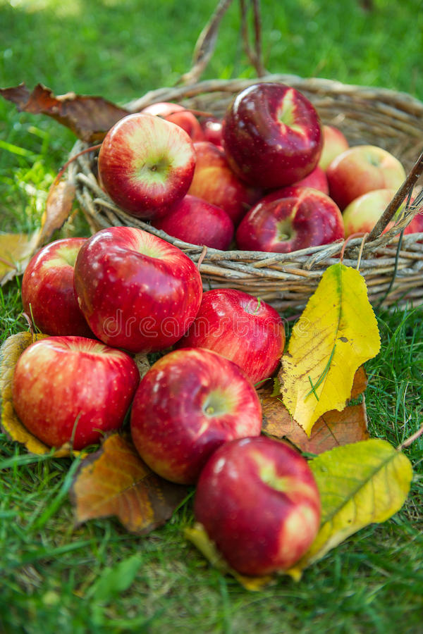 Red apple in a basket stock photography