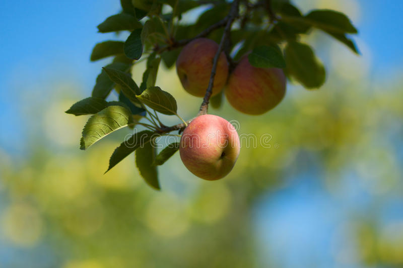 Red apple on branch. A red apple still on the branch against a soft focus background of blue sky and other apple trees stock image