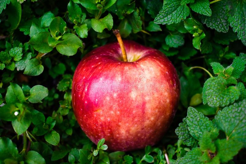 Red apple on green background isolated stock images