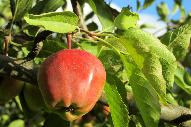 Red apple fruit on the tree stock images