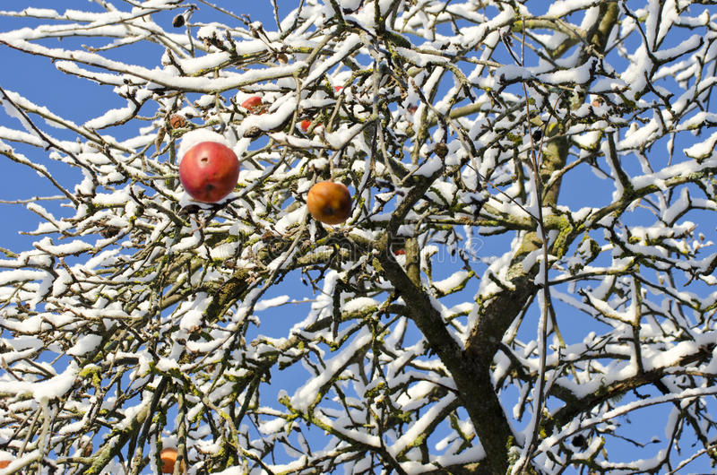 Red apple fruits on tree covered snow royalty free stock image