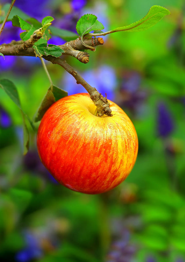 Red apple in garden stock photography