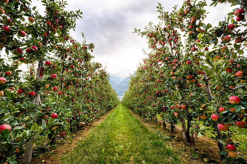 Red apple garden in Italy stock photo. Image of background - 69779730