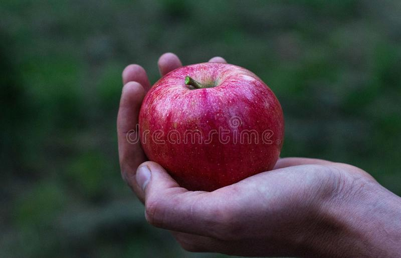 red apple at hand royalty free stock images
