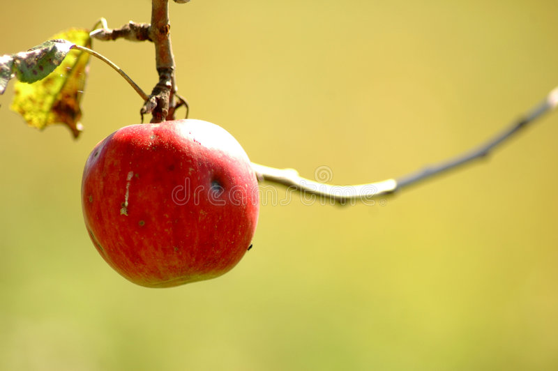 Red Apple Hanging From Tree. Stock Photos