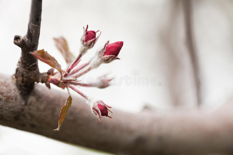 Red apple tree branch with young flowers. Macro nature concept, spring time in the garden. shallow depth of field stock images