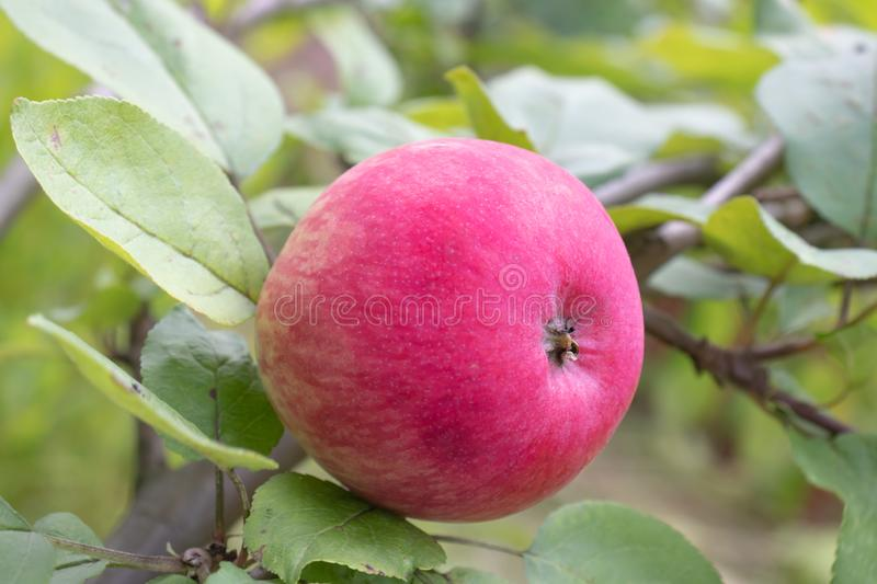 Red apple on a tree in garden, growing eco, organic products in the farm, countryside.  stock photos