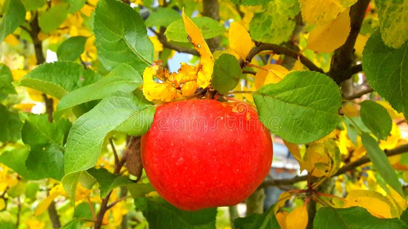 Red apple on apple tree. Red, ripe apple hanging on a branch of an apple tree stock photos