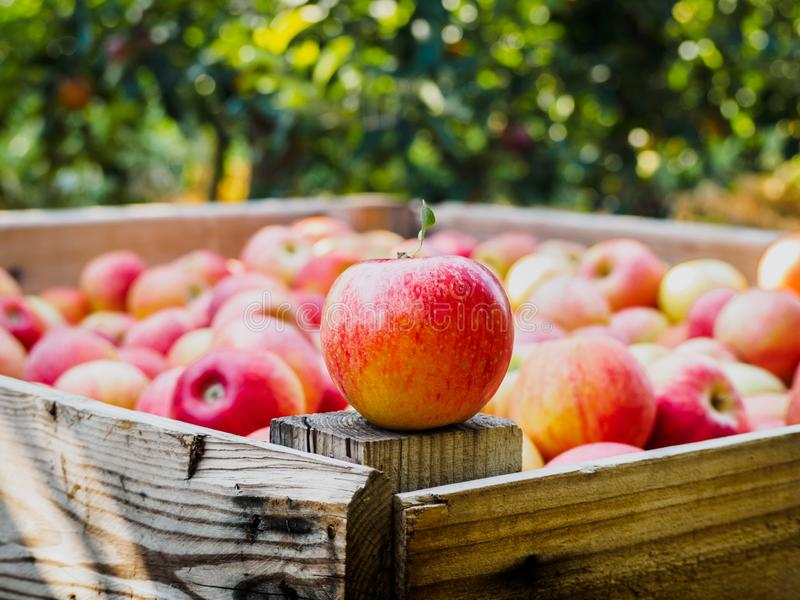 Red apple on a wooden palot in the field of apple trees. Red apple on a wooden palot full of apples of the gala / galaxy variety in the field of apple treesn stock images