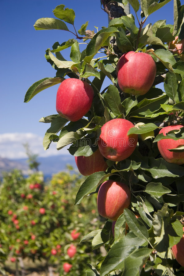Red apples 3390. Branch of perfect red apples against blue sky royalty free stock photos