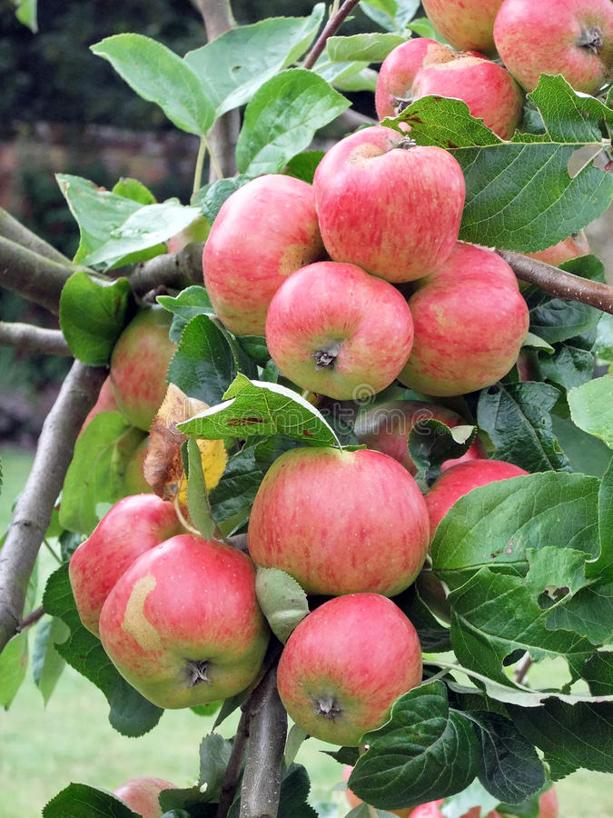 Red Apples. Apple Tree branch with an abundance of red apples growing stock images