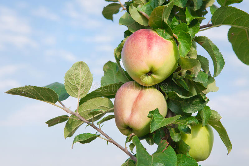 Red apples on apple tree branch, selective focus. stock images