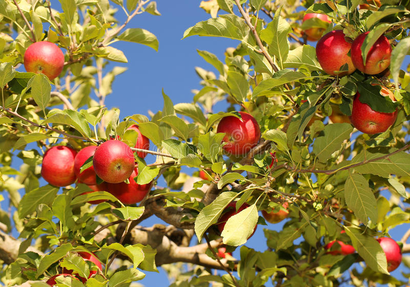 Red apples on branches ready to be harvested stock photography