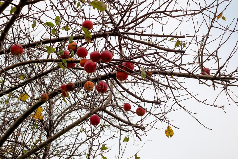 Red apples on the branches of the tree. Close view royalty free stock photos