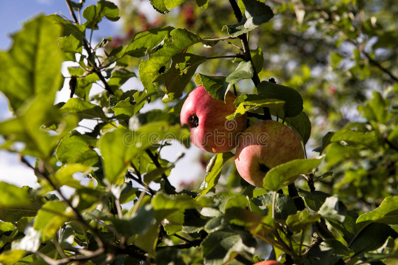 Red apples. royalty free stock images
