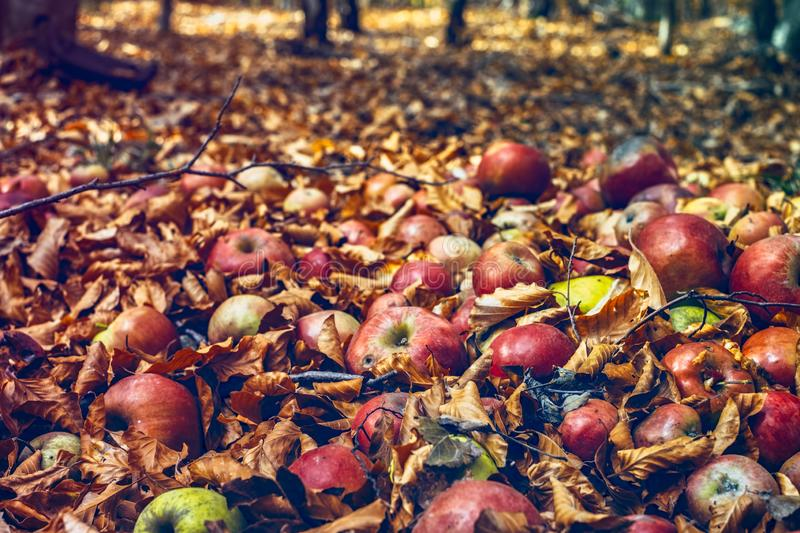 Red apples in the foliage of the forest royalty free stock photo