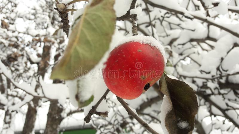 Red apples in the garden on a tree covered with snow against. Apple in winter with snow royalty free stock photography