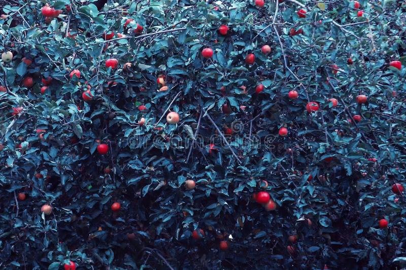 Red apples and green blue leaves on tree branch. Red apple tree on blue background. Agriculture nature floral stock images