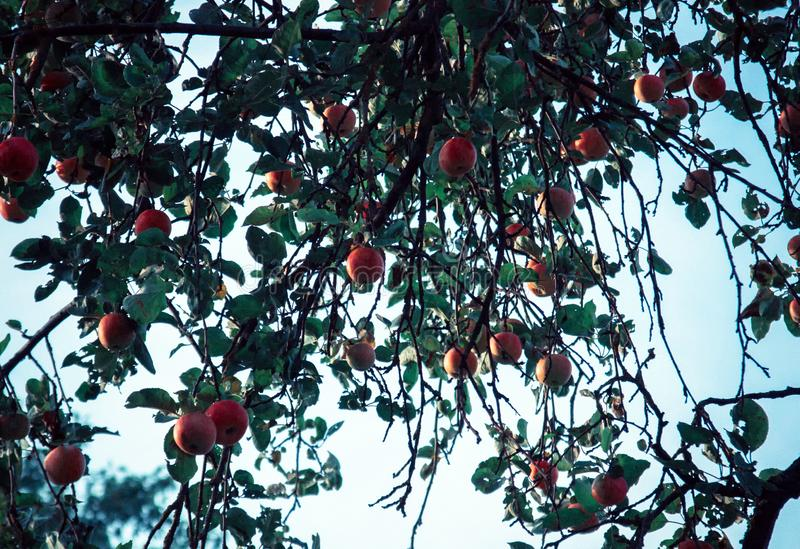 Red apples and green blue leaves on tree branch. Red apple tree on blue background. Agriculture nature floral royalty free stock image