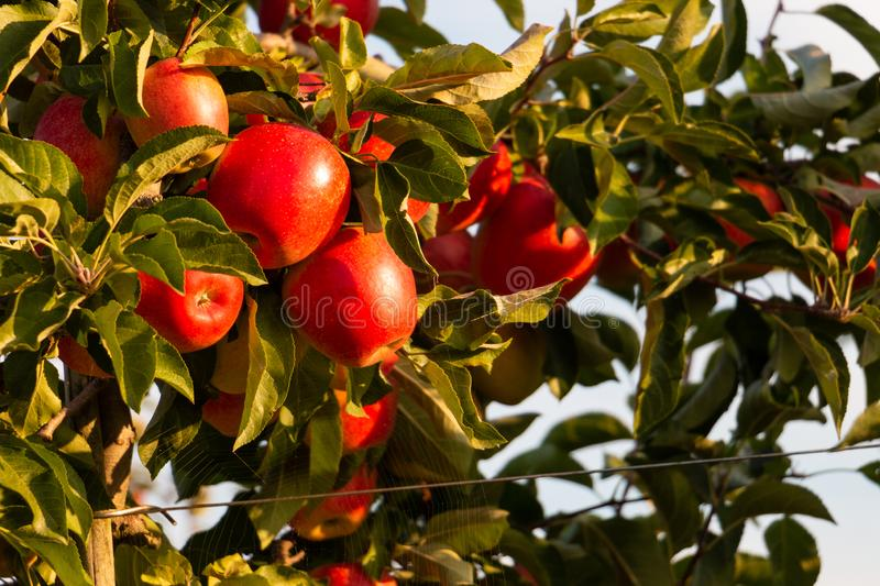 Red apples between green leaves on an apple tree royalty free stock photo