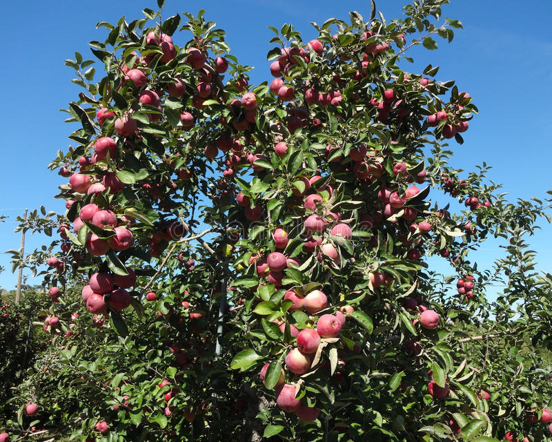 Red Apples Growing on a Tree. Red apples growing in abundance on a tree at an orchard in Connecticut stock images
