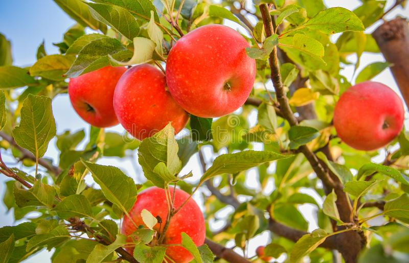 Red apples hang on apple-tree branches in a garden. royalty free stock photos