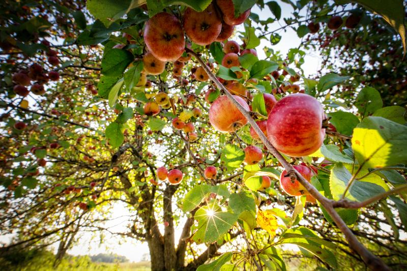 Red apples hang from an orchard tree with sunlight in summer Minnesota. Red apples hang from an orchard tree with sunlight gleaming through the branches in royalty free stock image
