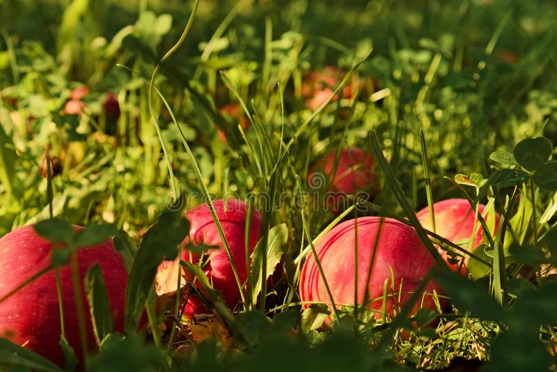Red apples laying in grass royalty free stock images