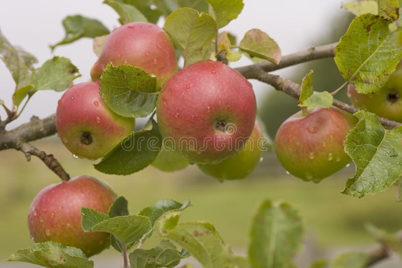 Apples. Red apples ripening on the tree royalty free stock image