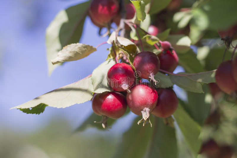 Red apples on a tree branch royalty free stock photography