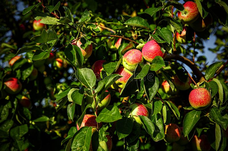 Red apples on tree branches.  stock photo