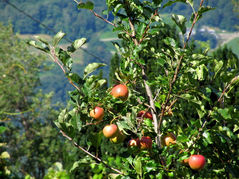 Red apples on tree branches. Merano, Italy royalty free stock photography