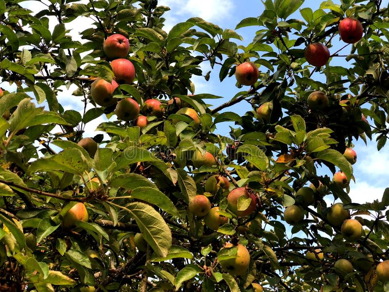Red apples on a tree in the city Park. stock image