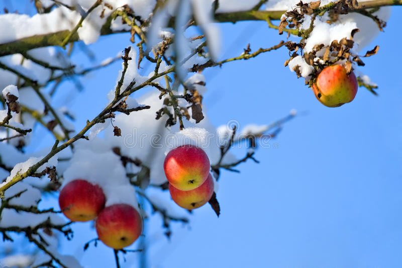 Red apples on tree and first snow royalty free stock image