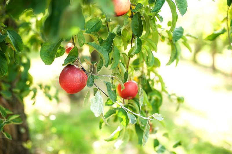 Red apples on a tree in the garden. Fruit organic harvest nature branch farm food growth natural plant season orchard green agriculture autumn color fresh stock image