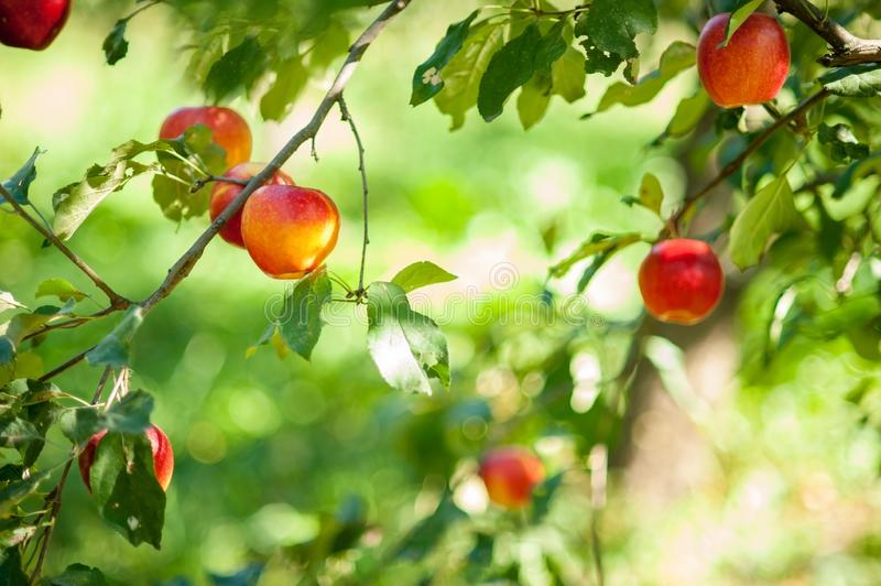 Red apples on a tree in the garden. Apple harvest. Copy space Organic Apple in the Orchard. Harvest Concept stock photos