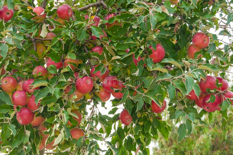 Red apples in the tree royalty free stock image
