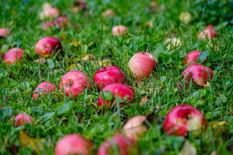 red apples on wet green grass in garden royalty free stock photo