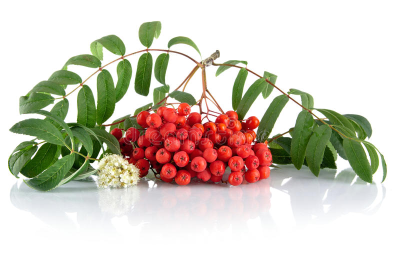 Red ash-berry with blossom isolated on white background. Red ash-berry with flower and green leaves with isolated on white background royalty free stock photography