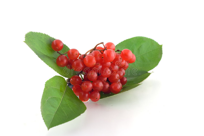 Red ashberry(Viburnum opulus). Bunch of red ashberry(Viburnum opulus stock photo
