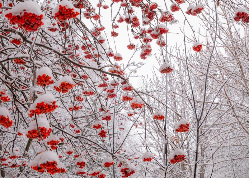 Red ashberry at winter day royalty free stock image