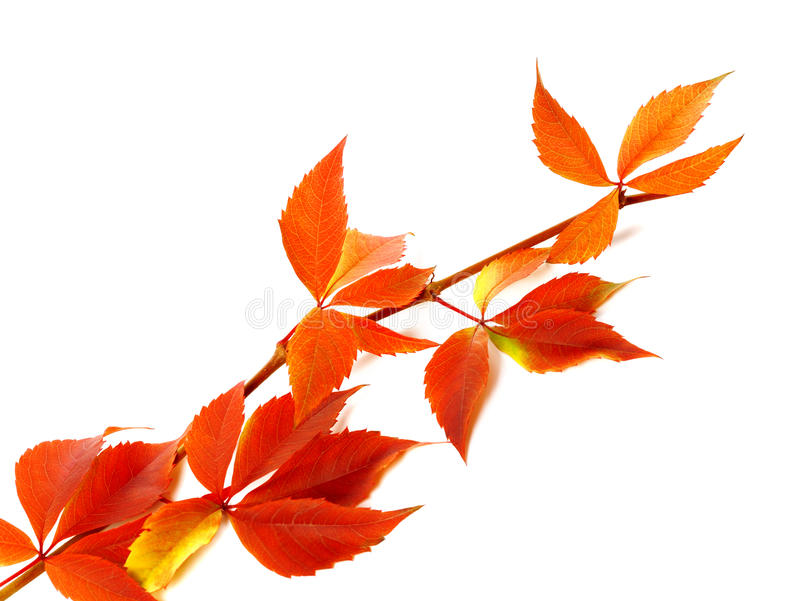 Red autum branch of grapes leaves (Parthenocissus quinquefolia f. Oliage). Isolated on white background stock photos