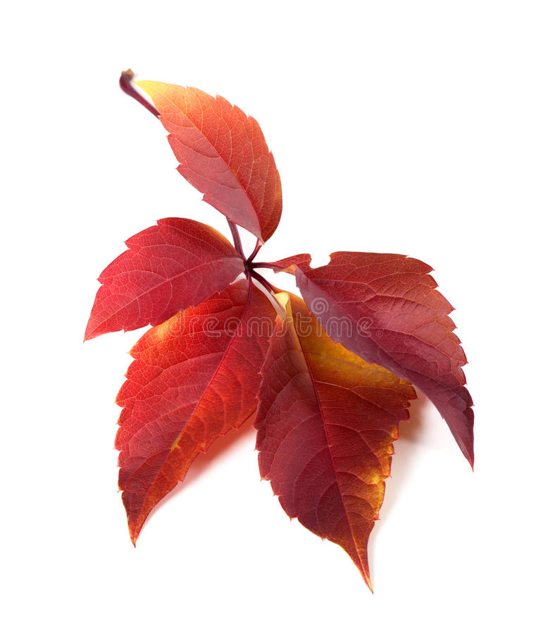 Free Red Autum Virginia Creeper Leaf Stock Photography - 56654572