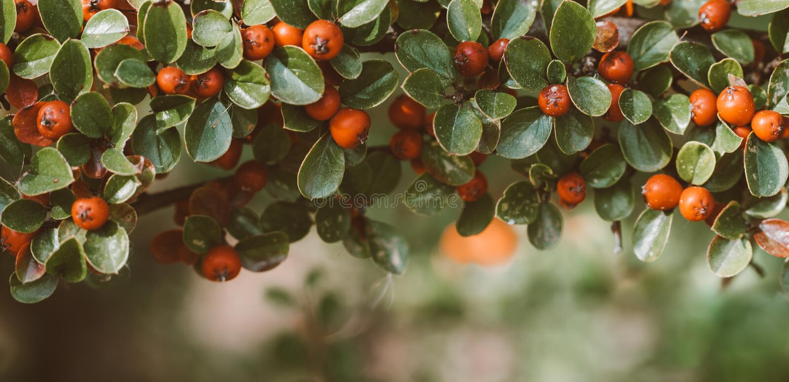 Red autumn berries of red Firethorn. Autumn beautiful background stock photo